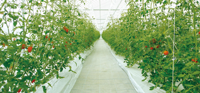 茨城県にある銀座農園の農場。高糖度トマトを低コストで栽培するための実験が日々実践されている。(参考:http://www.ginzanouen.jp/about/htad/)