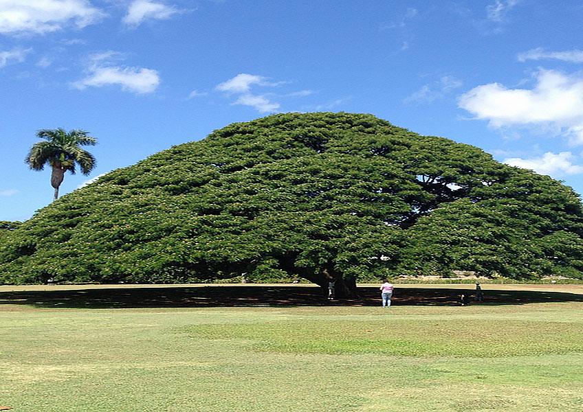 この木何の木・ホノルル市内観光
