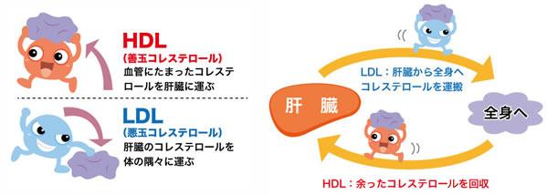 高い hdl コレステロール