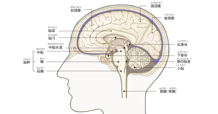 脳の断面の画像。中脳・橋・延髄をまとめて脳幹と言う。小脳は脳幹の近くにある。