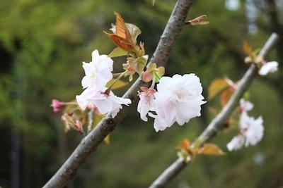 新種の桜「はるか」