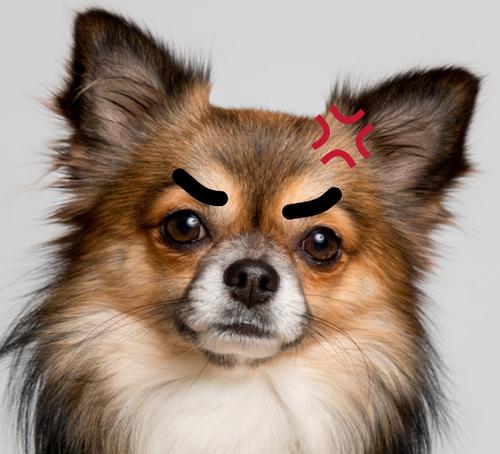 狂犬チワワさん