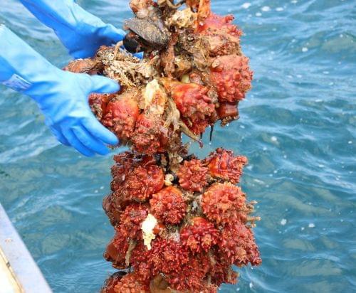 南三陸自慢のホヤを収穫する大人気の体験プログラムです
