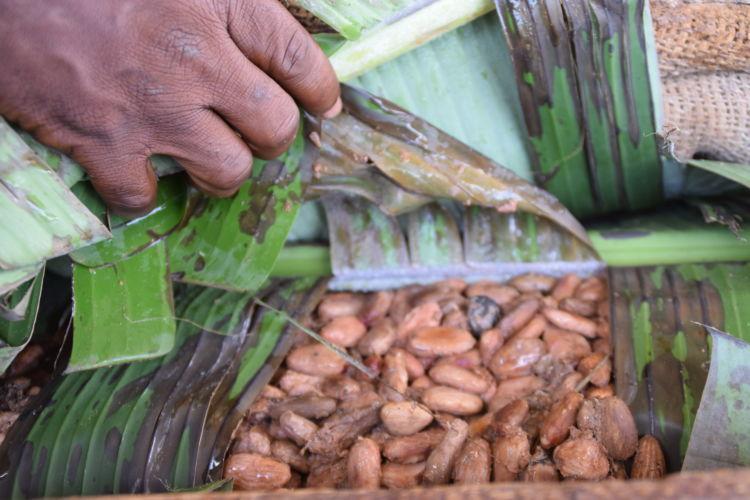 カカオ豆を木箱に入れ、バナナの葉や麻袋をかぶせて発酵させる