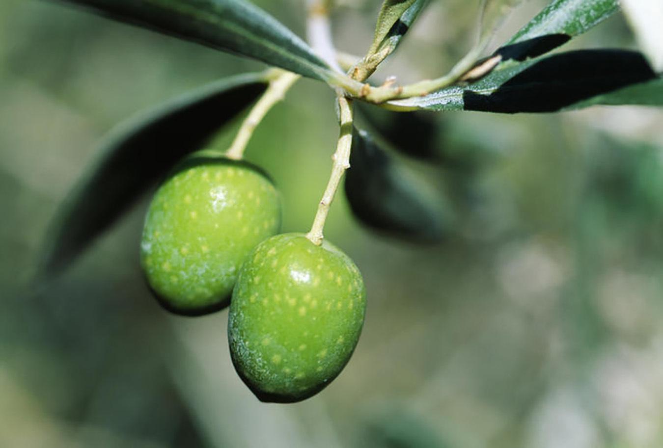 オリーブの木、育てる魅力と楽しみ方