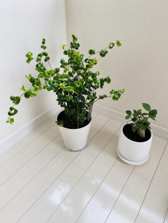 極端に物を減らした経験から、部屋のなかにはワンポイントで癒しや温もりが必要と実感し、観葉植物を置くように。中でも風水効果のある「ベンジャミンバロック」と「ガジュマル」の2種を飾っている