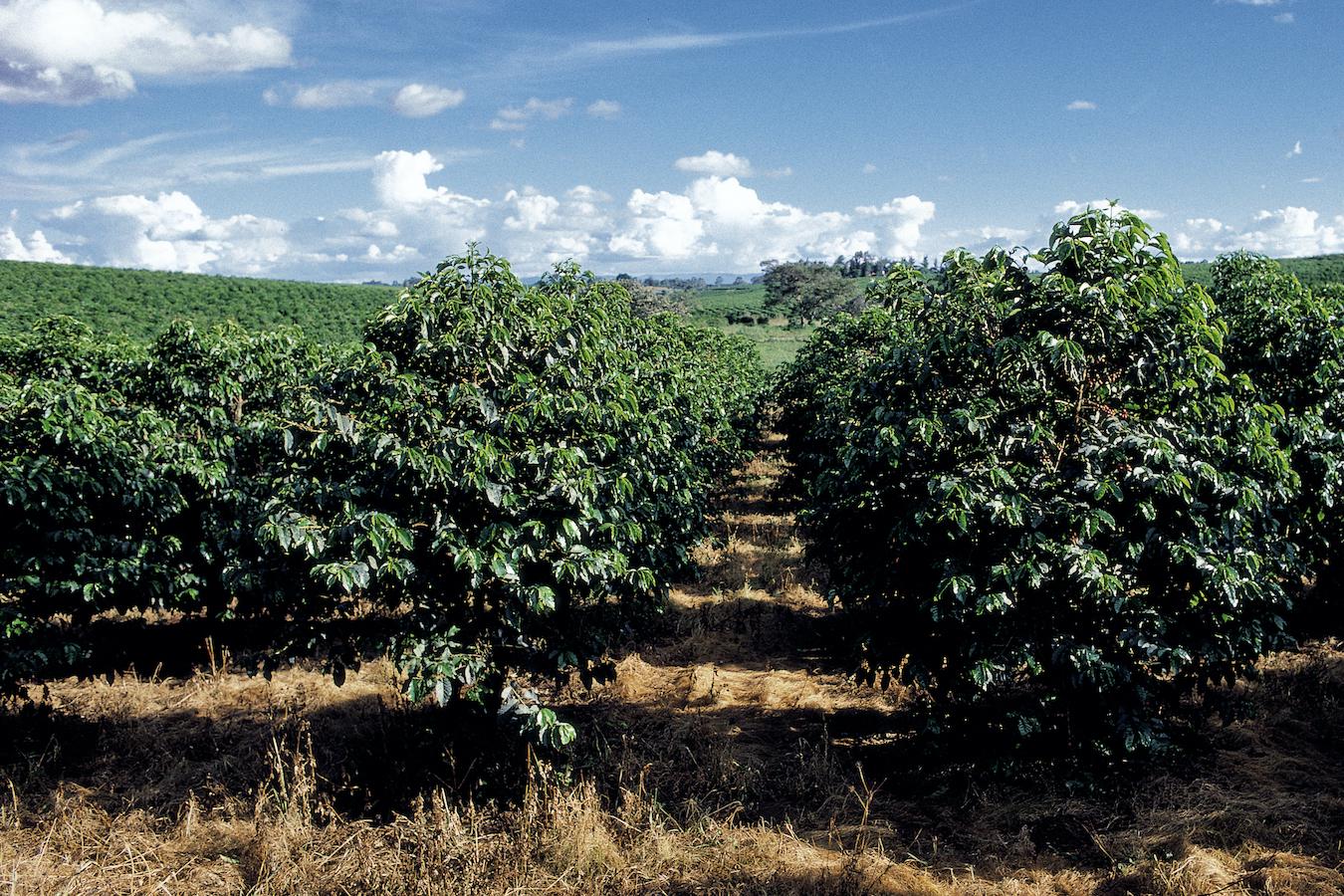 気温上昇によりアラビカ種に適した栽培地が減少
