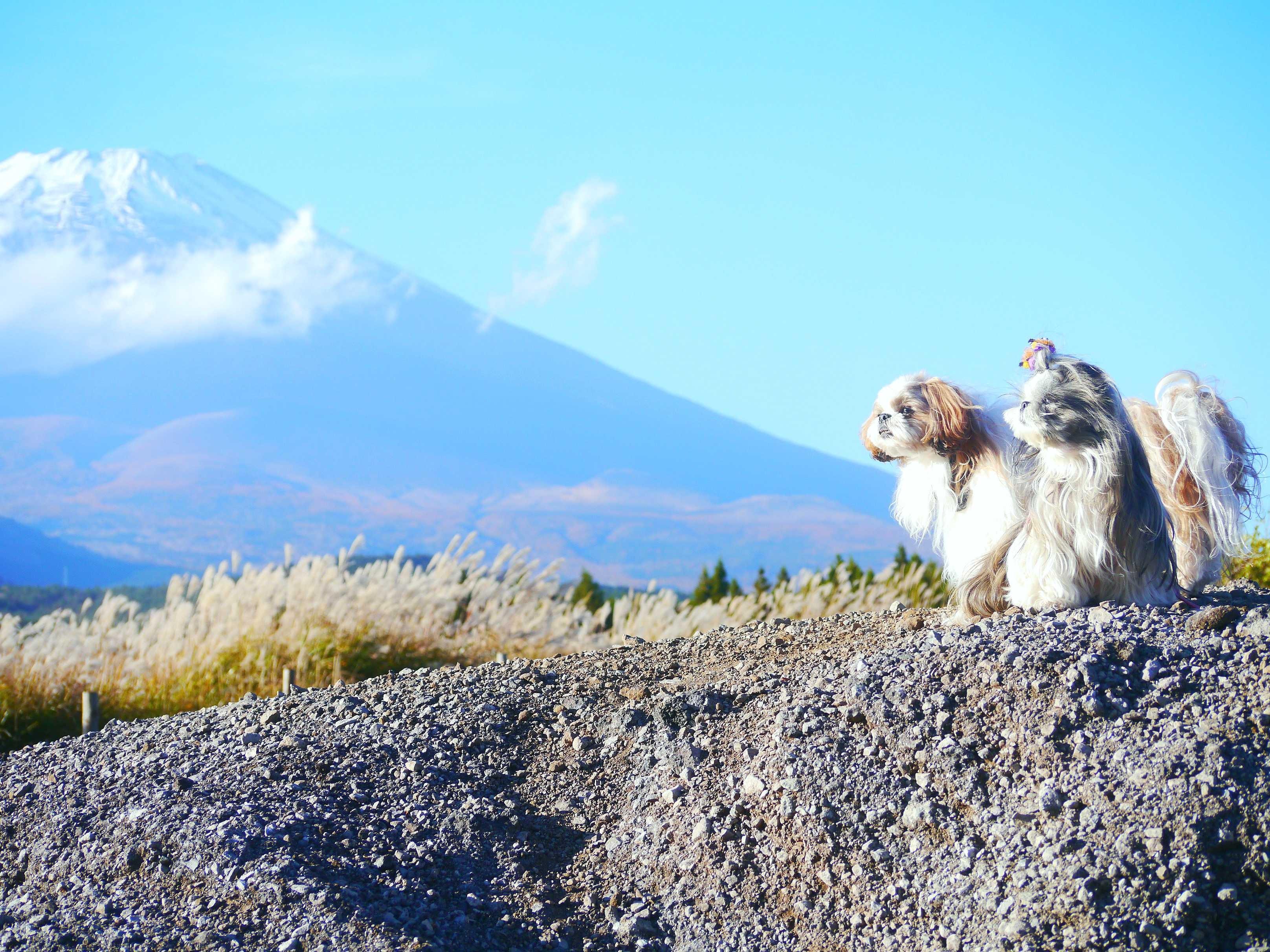 富士山とシーズー