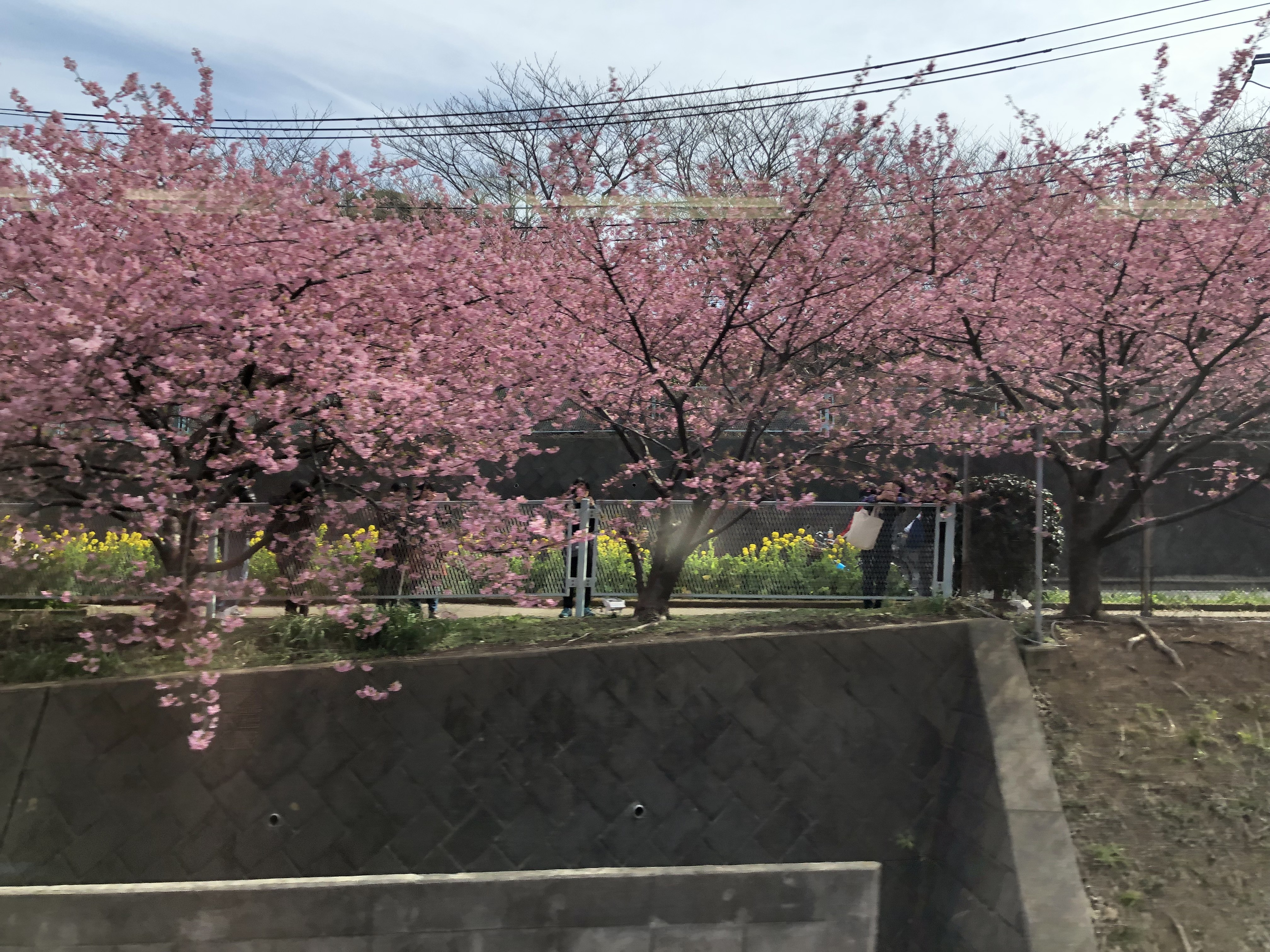 半島 河津 桜 三浦