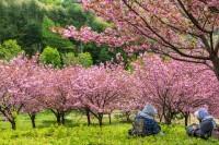 桜の開花が近いよ!開花予報のお届けでっす!!