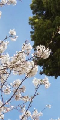 地元の桜たち🌸