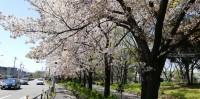 桜も見納めかな?