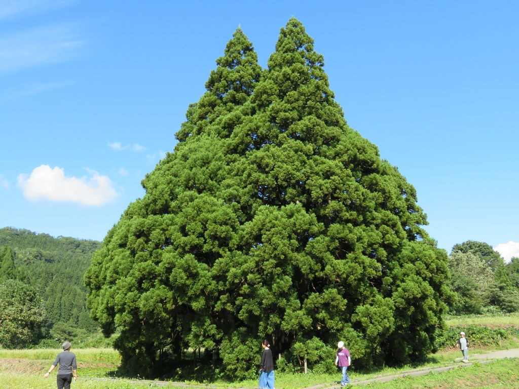 山形県最上郡鮭川村のトトロの木