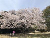 えっさん旅行記:淡路島洲本城の隠れた桜