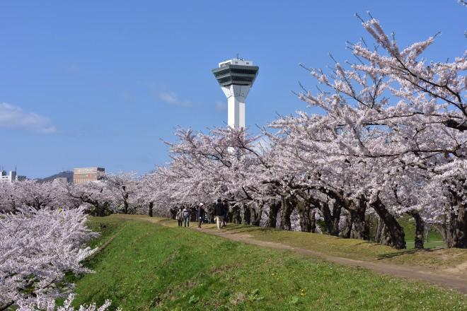 桜と五稜郭タワー