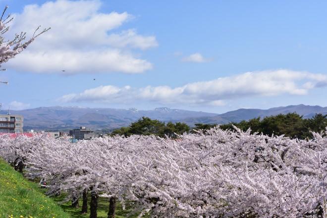 桜と遠くの山の景色