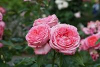 【クソニートの日常】一眼レフでバラを撮ってみたよ。