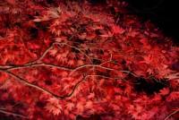 国営武蔵丘陵森林公園でライトアップされた紅葉を撮影してみた。