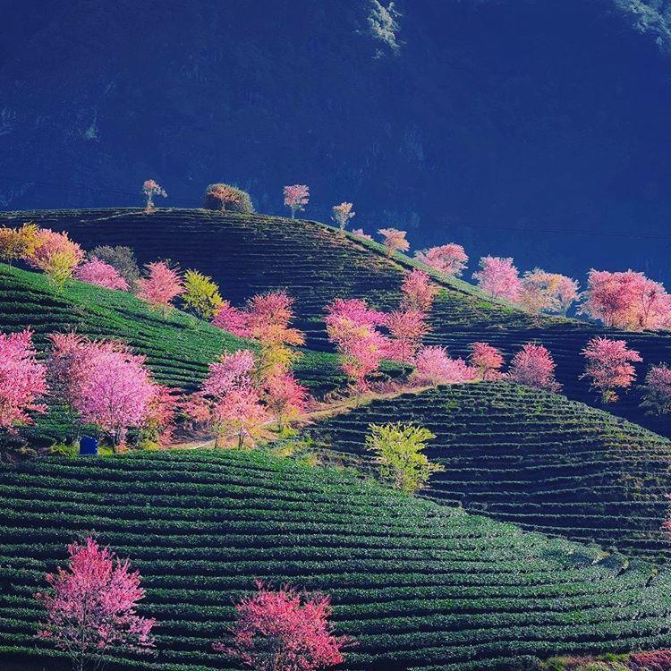 hoadao_lavender_599.jpg