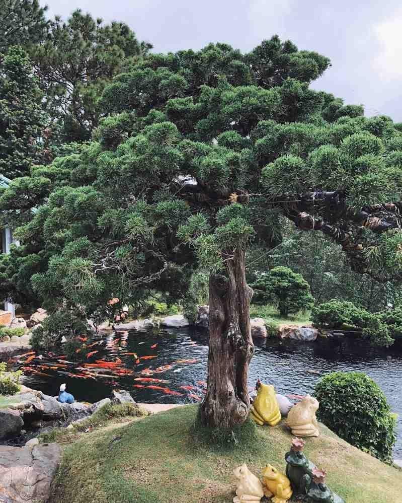 happydaytravel- cây tùng hồ Koi.jpg