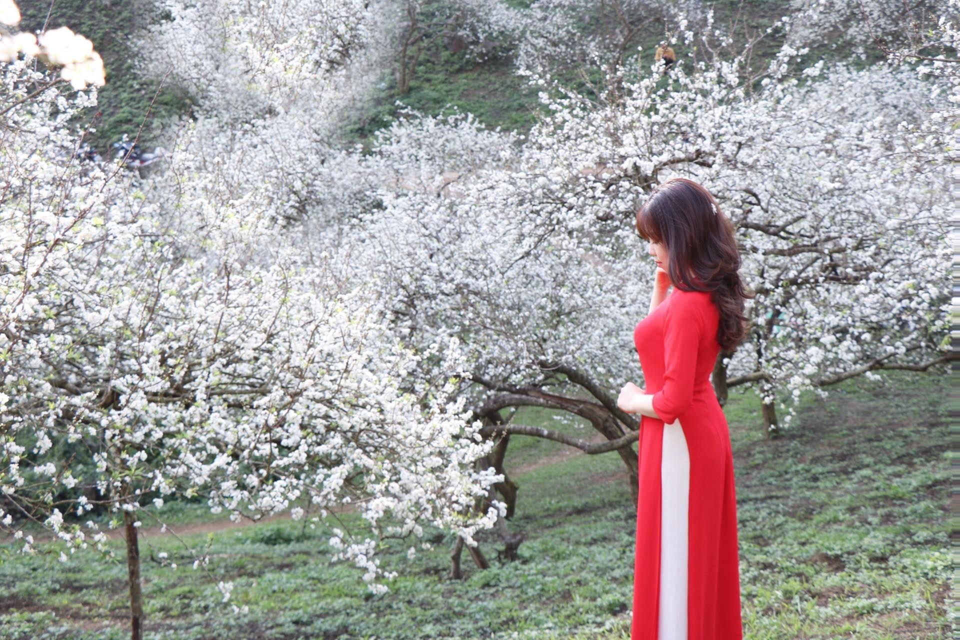 Đến Mộc Châu ngắm hoa mận nở trắng muốt, đẹp đến lịm tim