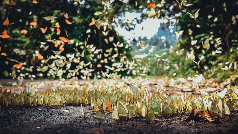 Lạc bước vào rừng Cúc Phương mùa bướm trắng đẹp như cổ tích