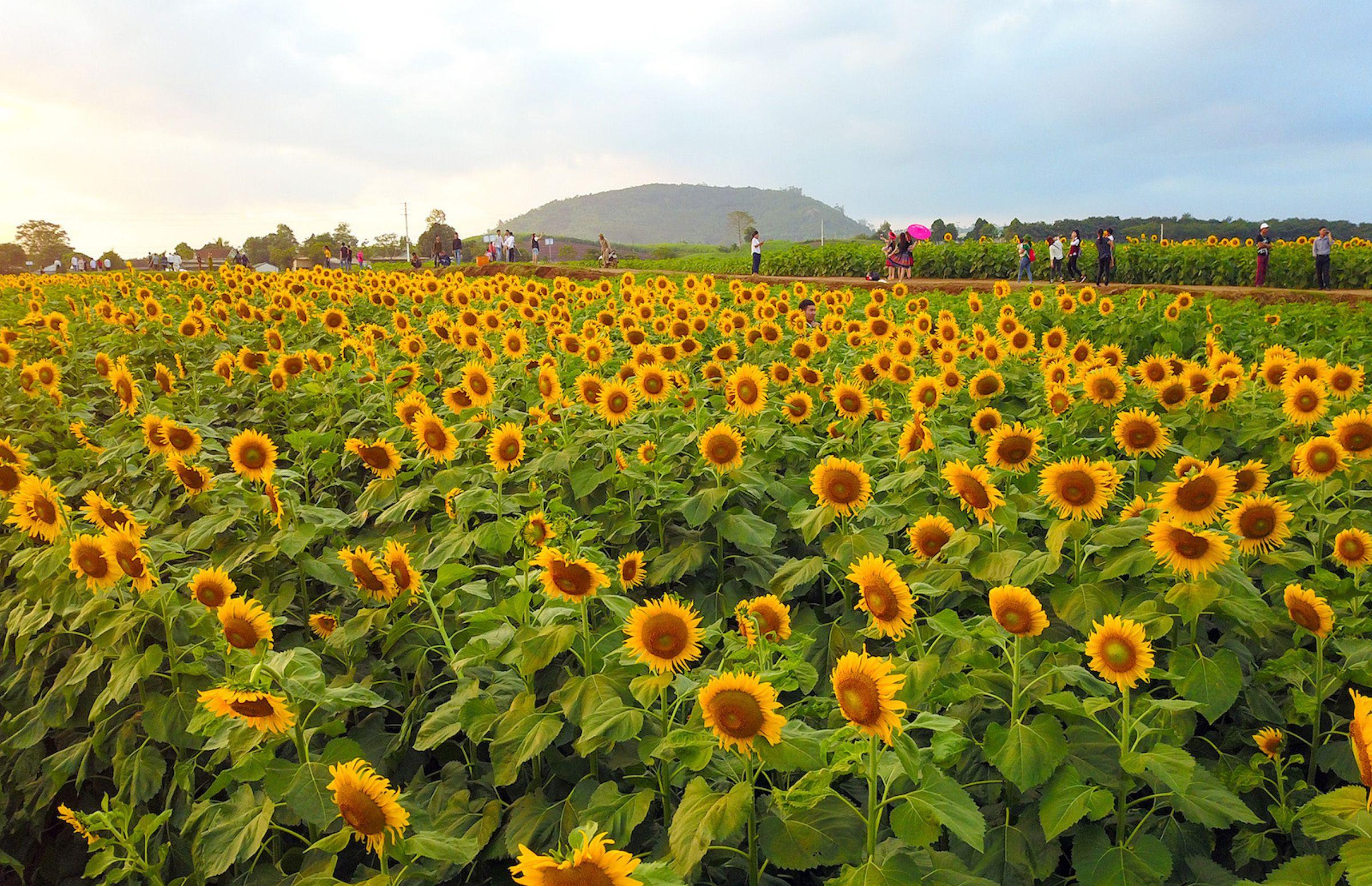 Ấn tượng trước cánh đồng hoa hướng dương lớn nhất Việt Nam