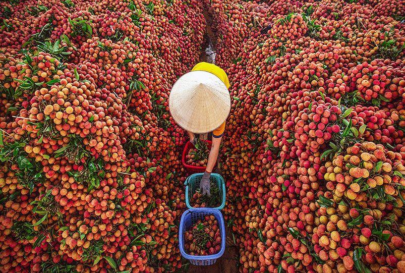 Du lịch Bắc Giang mùa vải thiều
