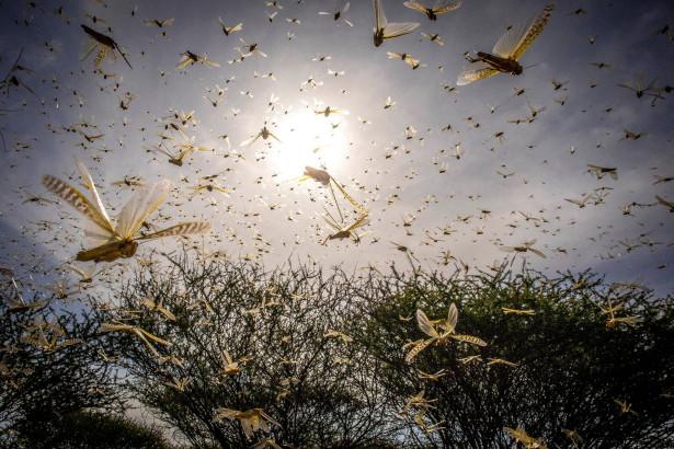 「一瞬で何もかも奪う」アフリカの大地を食い尽くす蝗害、バッタ博士が解説 | Forbes JAPAN(フォーブス ジャパン)