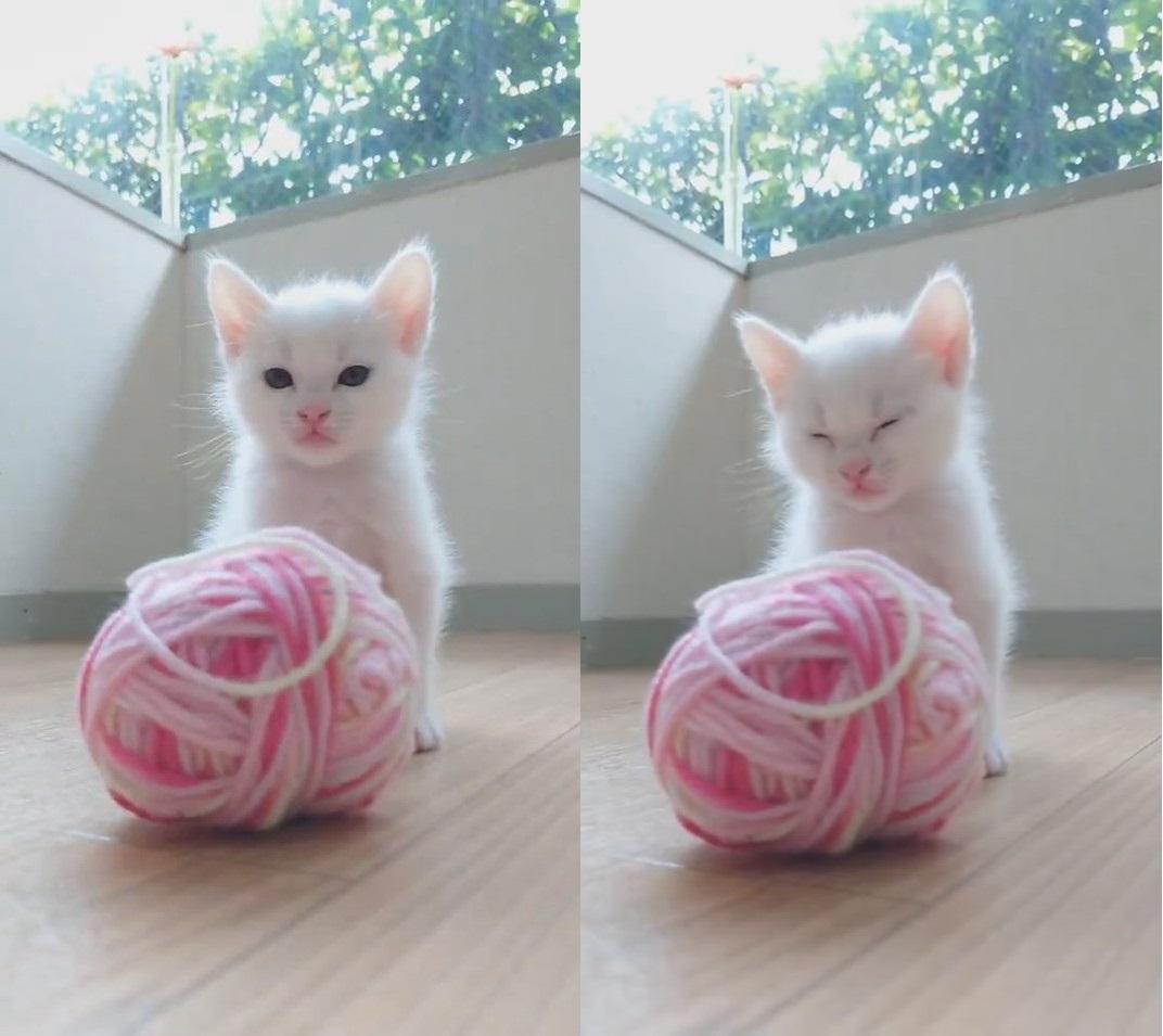 フワフワ子猫ちゃんがウトウト……こてん! 寝落ちする子猫に「かわいすぎて震える」「笑わないなんてムリ」の声 - ねとらぼ