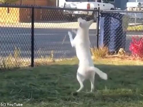 目も耳も聞こえない犬だけど…飼い主の存在はわかる(動画):らばQ