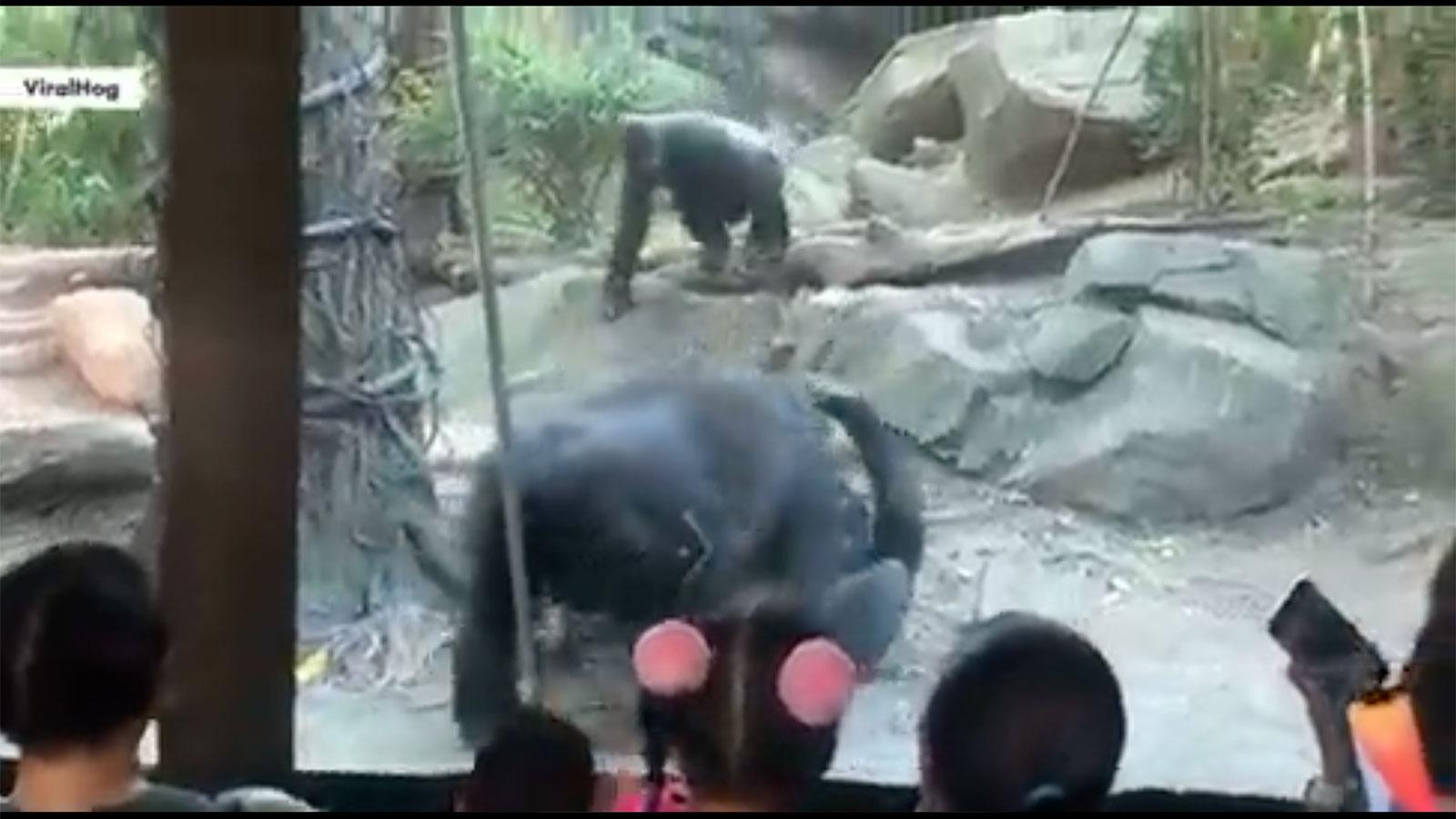 家族連れで賑わう動物園でゴリラが口淫をはじめる 思いも寄らぬ光景に悲鳴があがる | 専門家は「普通の行為」と話すが… | クーリエ・ジャポン