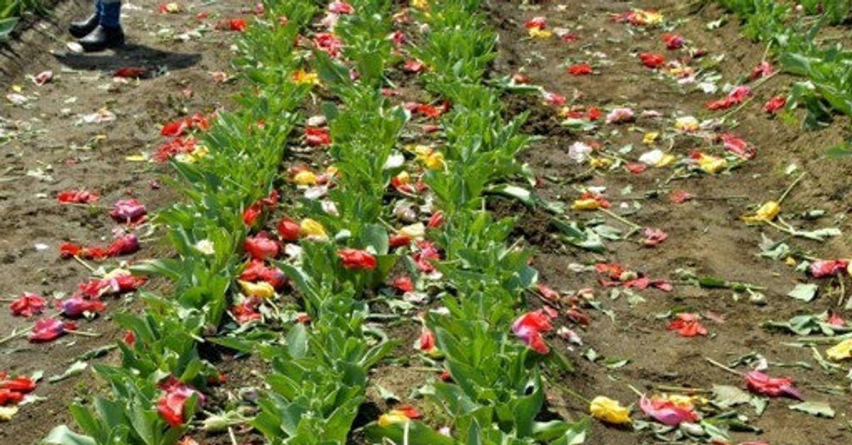 「咲かせておくの危険」苦渋の決断...密集避けるためチューリップ80万本を刈り取った | ハフポスト