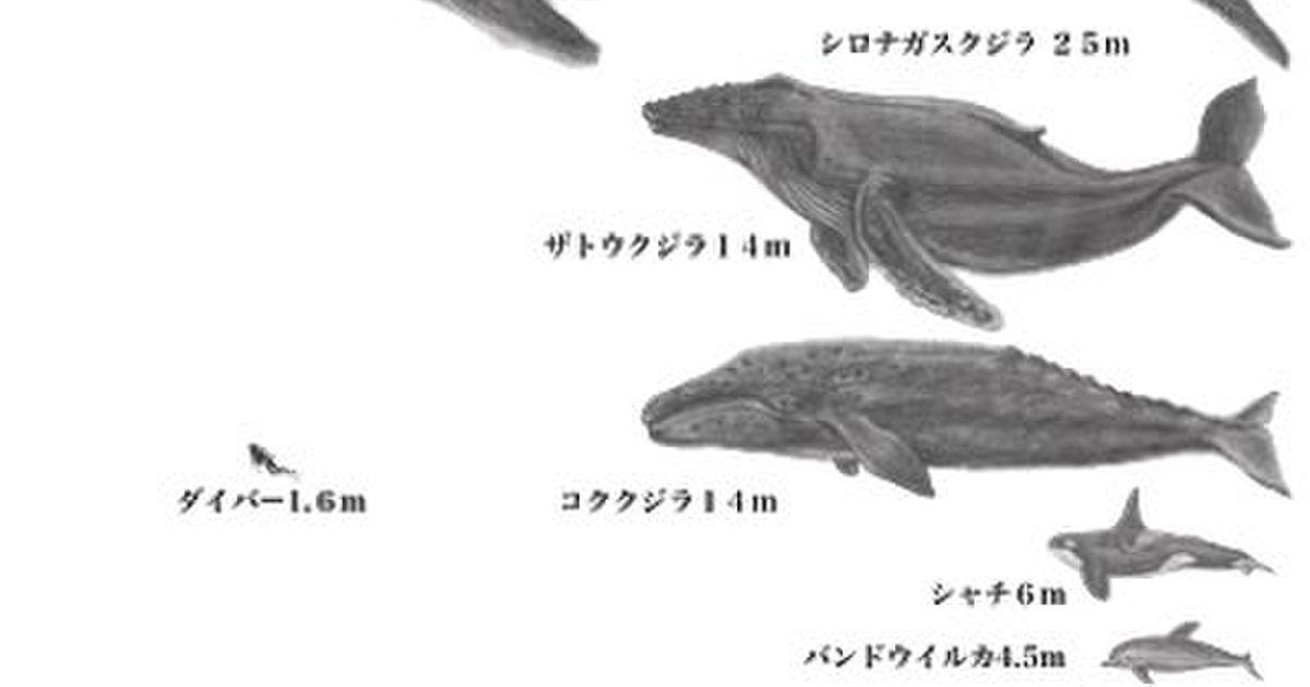 さ 大き シロ ナガスクジラ 繧ッ繧ク繝ゥ 螟ァ縺阪&