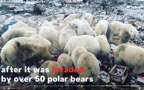 ホッキョクグマ50頭が村を襲撃、非常事態を発令 | ワールド | 最新記事 | ニューズウィーク日本版 オフィシャルサイト