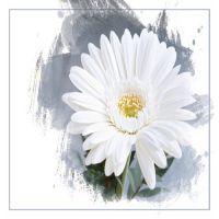 白のガーベラ