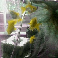 黄色い金魚