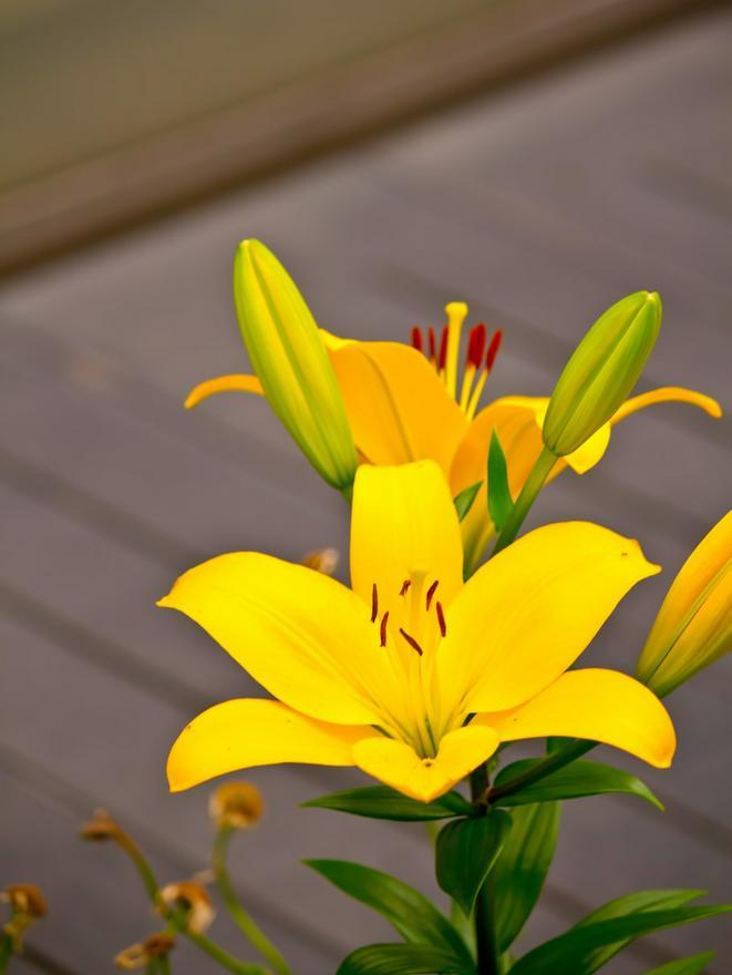 季節外れに咲いた黄色の百合は優しく微笑む
