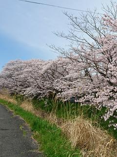 青空に映える桜 1  ~出会い~