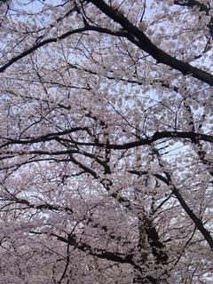 桜花ここにありて