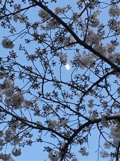 桜月に浮かぶ。