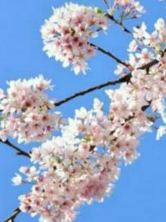 桜の季節に会いましょう