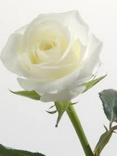 真っ白な薔薇