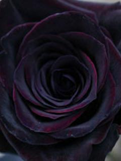 黒薔薇をあなたに