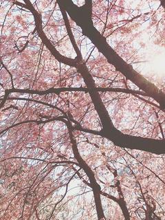 桜舞い散る中に忘れた記憶と君のレブロンの香りが戻ってくる。