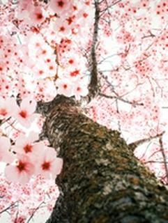 桜の木の下で出逢った女との話