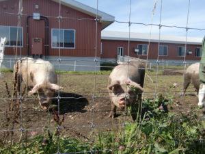 肉牛を見た後はバスで中小家畜の施設も見学しました。ここでは豚や羊、鶏などを飼育しています。