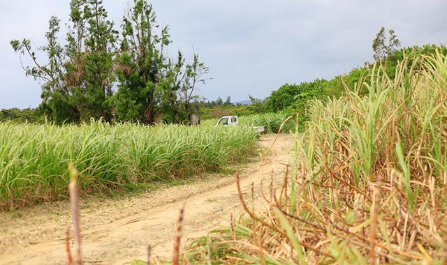 ... 石垣島 | サトウキビ畑の音