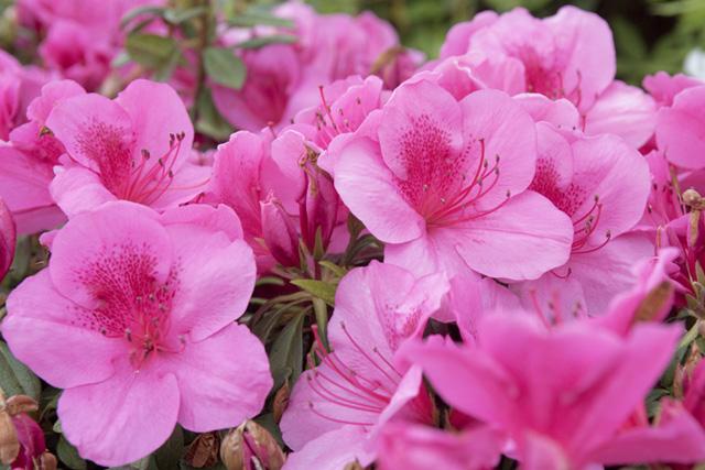 背朝太平洋、春之風物詩・日本最早的杜鵑花祭