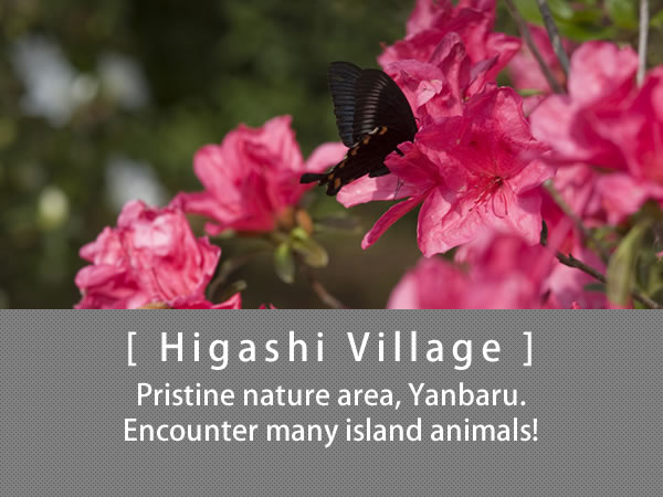 Higashi Village Pristine nature area, Yanbaru. Encounter many island animals!